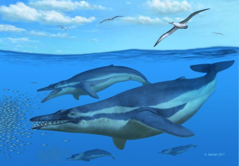 Newswise: Ancient Fossils Suggest Whales Used Teeth to Filter Out Prey
