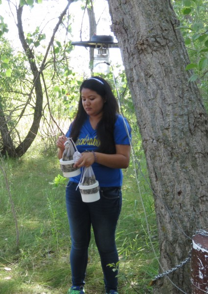 Undergraduate Kajol Khatri of South Dakota State University gathers mosquitoes from traps in the Dakota Nature Park in Brookings as part of the South Dakota Department of Health's West Nile virus surveillance program. Those species capable of carrying West Nile virus are then sent to Pierre for further testing.
