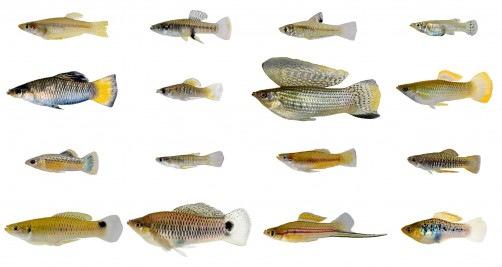 Newswise: A Tale of Two Fishes: Biologists Find Male, Female Live-Bearing Fish Evolve Differently