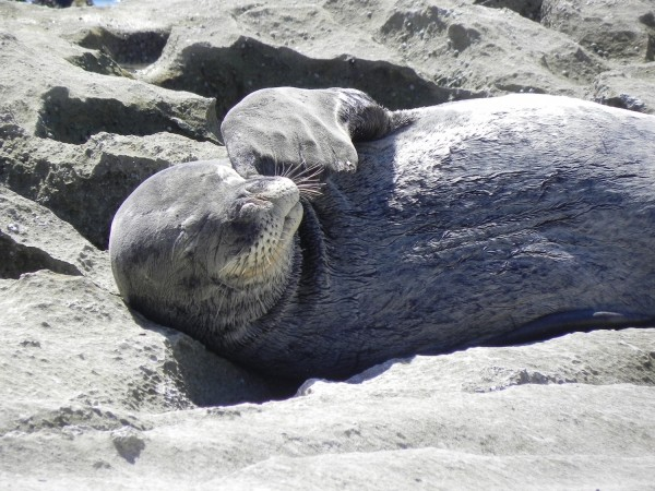 Hawaiian Monk Seal is one of the most endangered marine mammals on the planet.
