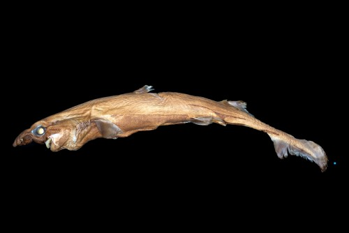 Newswise: New Shark Species Glows in the Dark, Weighs About 2 Pounds and Has a Huge Nose
