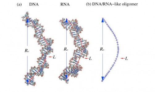 Newswise: New Theory of Polymer Length Provides Improved Estimates of DNA and RNA Size