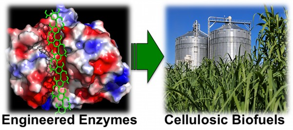 Enzymes, genetically engineered to avoid sticking to the surfaces of biomass such as corn stalks, may lower costs in the production of cellulose-based biofuels like ethanol.