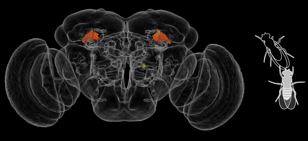 Inside the center of the female fruit fly brain, two small regions (red) play a role in aggression.