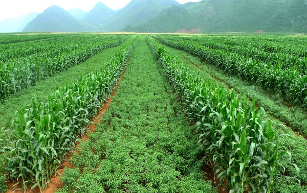 Corn (taller plants) planted with chili peppers. Farmers can reduce erosion and increase profits by using this intercropping system.