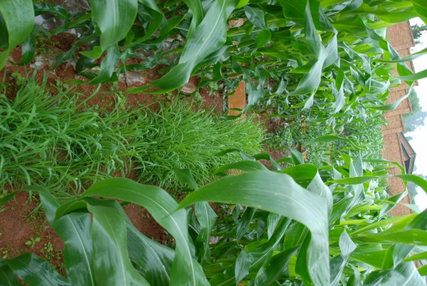 Corn grown with setaria grass intercropped reduces erosion, but has less economic return than the corn & chili system.
