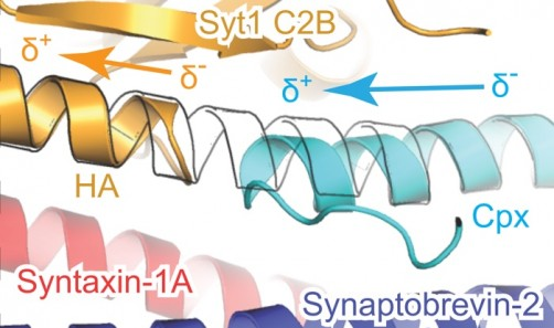 Newswise: 3-D Protein Structure Offers Insight into Rapid Communication by Brain Cells