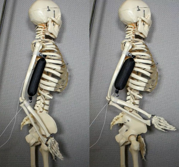The artificial muscle in use as a bicep lifts a skeleton's arm to a 90 degree position.