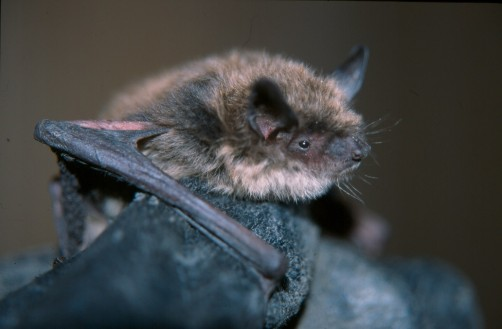 Newswise: Efforts to Help Bats Survive Deadly Disease Get a Boost