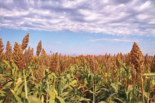 Newswise: U.S. Department of Energy Awards Danforth Center $16M to Enhance Sorghum for Bioenergy