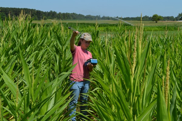 Ali Hintz taking corn height measurements.