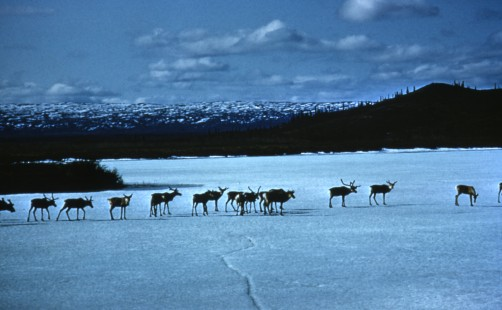 Newswise: Arctic National Wildlife Refuge Experts Available