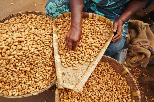Newswise: Scientists Develop Groundnut Resistant to Aflatoxin