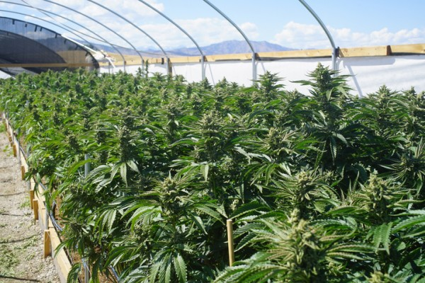 Cannabis is grown in a greenhouse.