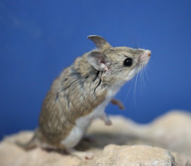 Newswise: Nature's Whistles: Rodents Use a Mechanism Like Police Whistle to Produce Ultrasonic Vocalizations