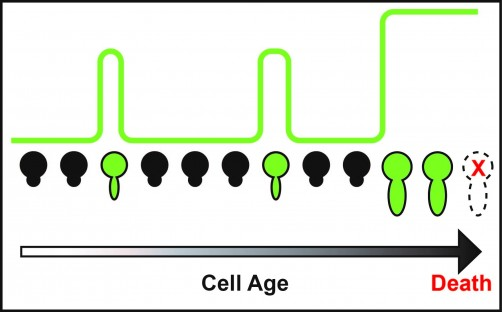 Newswise: Scientists Decipher Mechanisms Underlying the Biology of Aging