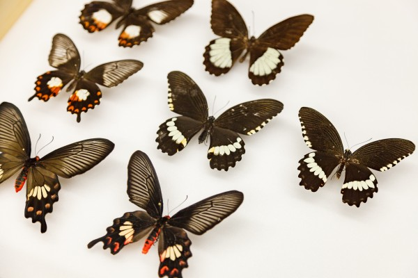 Several different swallowtail butterfly variations showing mimicry and polymorphism, or different forms of the same species. In the center, a female Papilio polytes that does not mimic another species.