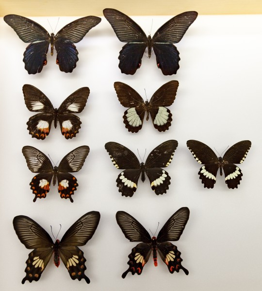 Several different swallowtail butterfly variations showing mimicry and polymorphism, or different forms of the same species. Row 1: A female and male Papilio protenor, the species that is closely related to Papilo polytes, the focal of the new study. In P. protenor, males and female look the same and they do not mimic. Row 2: Papilio ambrax, a species where males and females look different and the female is a mimic. In this species, there is no female polymorphism. The new study shows that its evolutionary ancestor was polymorphic, but females lost that train and only display the mimetic form. Row 3: Polymorphic Papilio polytes, (L-R) A mimetic female form (one of 3 mimetic forms in this species), a non-mimetic female, and the male. Row 4: A distantly related swallowtail, Pachliopta aristolochiae. This is the toxic species that the species in the new study mimic.