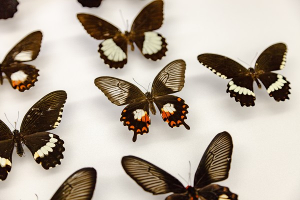 Several different swallowtail butterfly variations showing mimicry and polymorphism, or different forms of the same species. In the center, a female Papilio polytes that mimics another species that is toxic to predators.