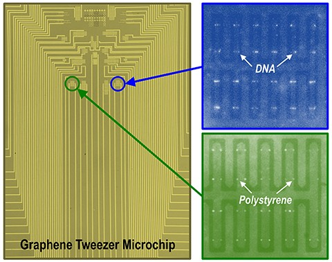 The University of Minnesota team produced a microchip containing a large array of graphene electronic tweezers. Fluorescence images show DNA molecules and polystyrene nanoparticles trapped on the chip.