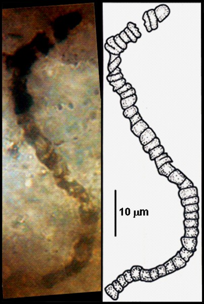 An example of one of the microfossils discovered in a sample of rock recovered from the Apex Chert, a rock formation in western Australia that is among the oldest and best-preserved rock deposits in the world. The fossils were first described in 1993 but a 2017 study published by UCLA and UW–Madison scientists used sophisticated chemical analysis to confirm the microscopic structures found in the rock are indeed biological, rendering them — at 3.5 billion years — the oldest fossils yet found.