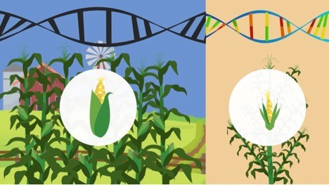 Newswise: Corn Genetics Provides Insight Into the Crop's Historical Spread Across the Americas