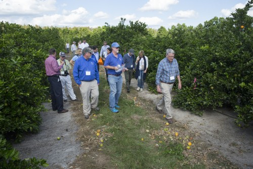 Newswise: UF/IFAS, Tropicana Test Promising New Citrus Varieties for Greening Tolerance