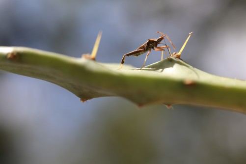 Newswise: UF Studies Show What Some Bugs Do for Love, Like Sacrificing a Leg