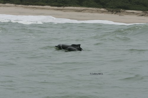 Newswise: West African Dolphin Now Listed As One of Africa's Rarest Mammals
