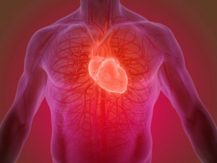 Newswise: Mitochondrial Protein in Cardiac Muscle Cells Linked to Heart Failure, Study Finds