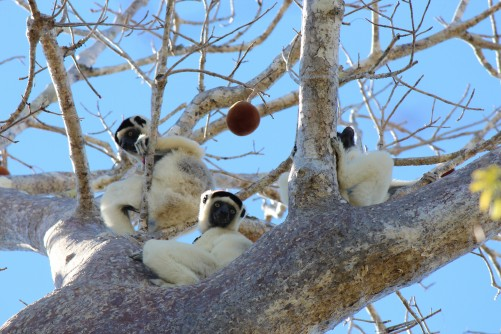 Newswise: Gut Microbiome Influenced Heavily by Social Circles in Lemurs, UT Study Says