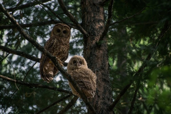 While California spotted owls (left, adult; right, juvenile) typically perch and roost in smaller trees like this incense cedar, their nest trees are often several feet in diameter.