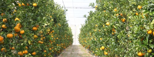 Newswise: UF Study: Screen Houses May Help Prevent Grapefruit Greening