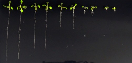 Newswise: Lab-Made Hormone May Reveal Secret Lives of Plants