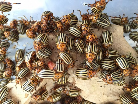 Newswise: Colorado Potato Beetle Genome Gives Insight Into Major Agricultural Pest