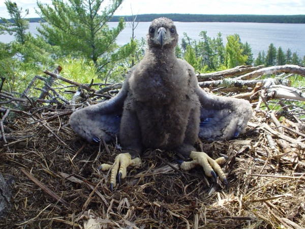 "This young eagle marks ""nesting success"" in Voyageurs National Park."