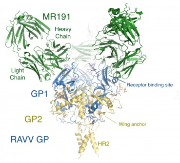 Newswise: TSRI Scientists Discover Workings of First Promising Marburg Virus Treatment