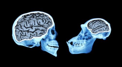 Newswise: Brain Size of Human Ancestors Evolved Gradually Over 3 Million Years