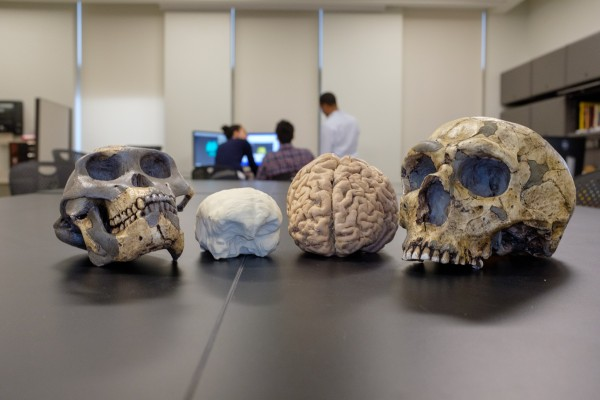 Models of human ancestor brain size compared to modern day humans