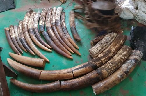 Newswise: Successful Anti-Poaching Operation Leads to 5-Year Conviction for Three Poachers in Republic of Congo