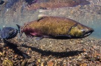 Chinook salmon, shorter in length than in earlier years, swim in Oregon's McKenzie River.