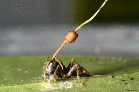 A fungal fruiting body erupts through the head of a carpenter ant infected by a parasitic fungus in Thailand.