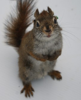 Newswise: Male Squirrels Kill Offspring of Rivals in Years When Food Is Plentiful, Study Shows