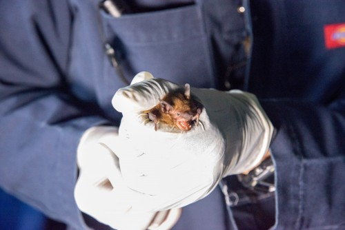 Newswise: North Carolina Taps State Bat Researchers to Study Gray Bats