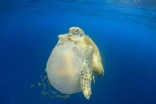 Newswise: Sea Turtles Use Flippers to Manipulate Food