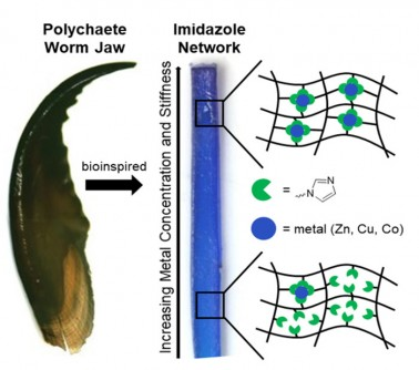 Scientists created a bioinspired gradient in mechanical properties. The range is achieved by programming the density of a special interaction between metal ions and electron-donating ligands. The left image is a polychaete worm jaw that uses metal-ligand interactions to create a mechanical gradient, which can prevent damage to the jaw tip during biting and venom injection. The bioinspired polymer-metal material developed in the laboratory (right) contains zinc (Zn), copper (Cu), or cobalt (Co) (all are blue) and a network of nitrogen-based ligands (green).