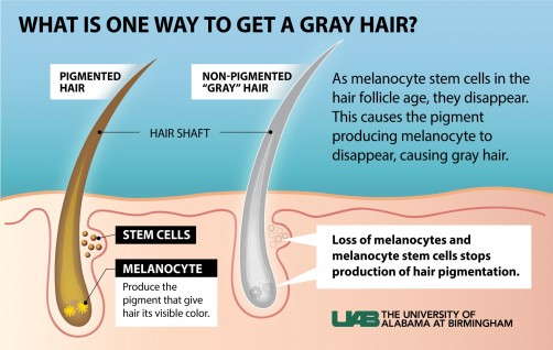 Newswise: Study Explains One Reason Hair Can Turn Gray