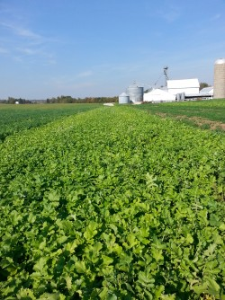 Newswise: Radish Cover Crop Traps Nitrogen; Mystery Follows