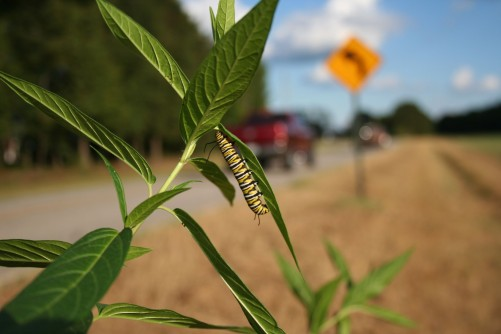 Newswise: Caterpillar 'Road Rage' Could Affect Migration