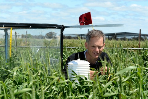 Newswise: Whether Wheat Weathers Heat Waves